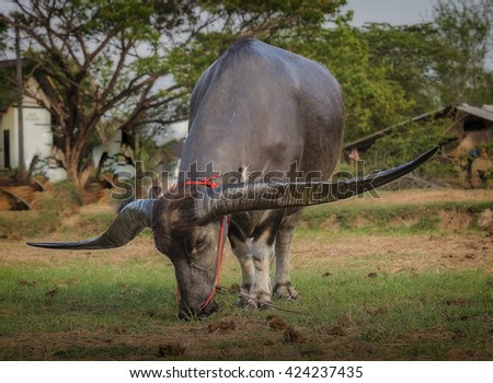 buffalo graze on the meadow - stock photo