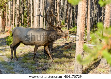 Bull Elk in Forest - Close-up view of a mature bull elk walking in a dense pine forest, Yellowstone National Park, Wyoming, USA. - stock photo