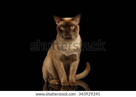 Burma Cat Sits and Looking in Camera on Black background - stock photo