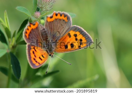 Butterfly - Small Copper (Lycaena phlaeas) on the meadow - stock photo