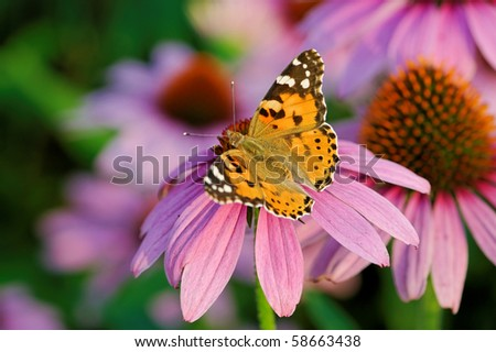 Butterfly (Vanessa Cardui) on Echinacea
