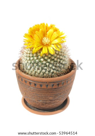 cactus Parodia mutabilis with yellow flowers in pot on white - stock photo