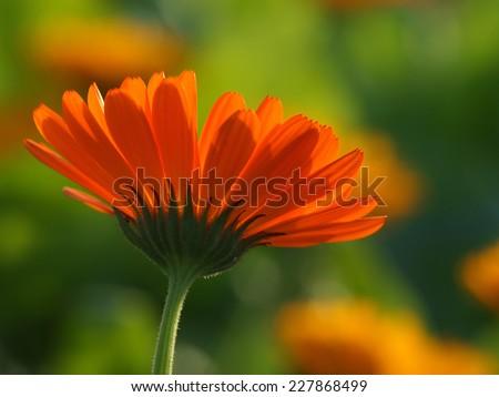 calendula officinalis,          - stock photo