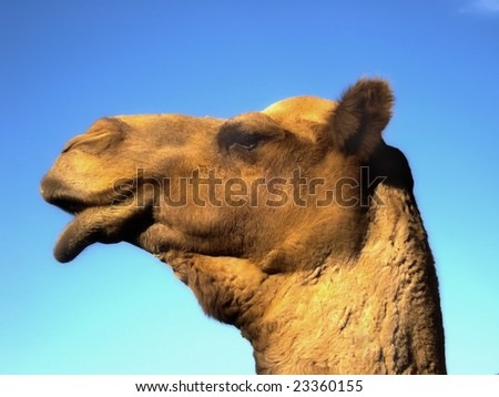 Camel head portrait - stock photo