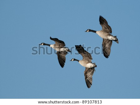 3 Canada Geese (Branta canadensis) flying against a blue sky background - stock photo