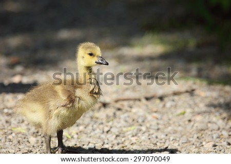 Canada goose (Branda canadensis) gosling standing on pathway in a southern Ontario marsh area. It's yellow plumage reminds me more like fur than feathers and is  beautiful with the suns refection. - stock photo