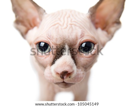 Canadian sphynx closeup.  isolated on white background - stock photo