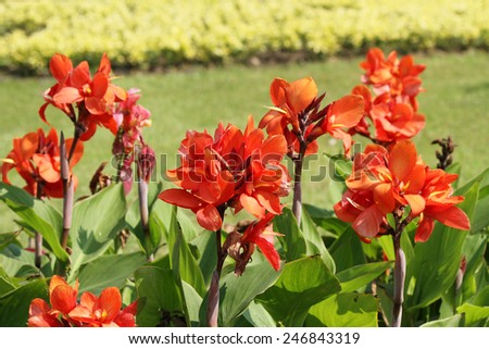Canna flowers on nature - stock photo