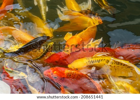 Carps Fish Japanese swimming beautiful color variations natural organic