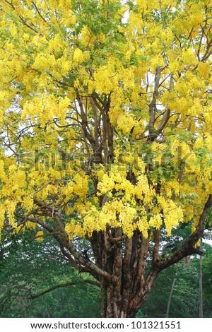 Cassia fistula. National flower of Thailand. (Golden Shower Tree) - stock photo