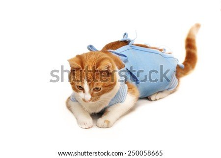 cat after operation sterilization isolated - stock photo