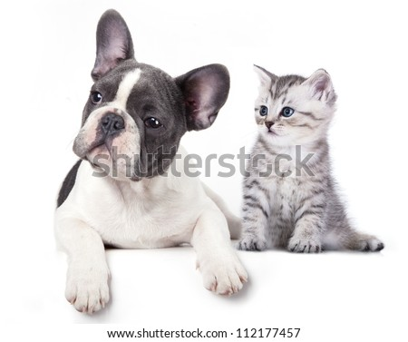 Cat and dog, British kitten and  French Bulldog puppy