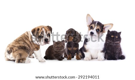 cat and dog, dachshund puppy and kitten chocolate color - stock photo