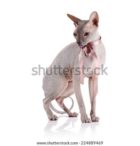 Cat of breed sphinx.  - stock photo