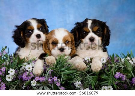3 Cavalier King Charles Spaniel puppies sitting behind lavender flowers - stock photo