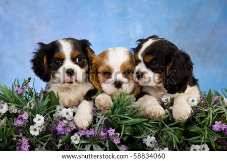 3 Cavalier King Charles Spaniel puppies with flowers and blue background - stock photo