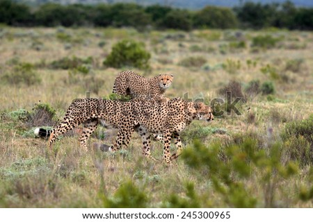 3 cheetah on the move in South Africa - stock photo