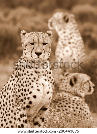 3 cheetah on the move in this abstract image taken in South Africa - stock photo