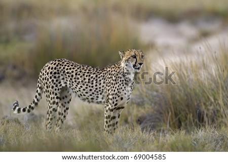 Cheetah standing in Grassland; Acinonyx jubatus; South Africa - stock photo