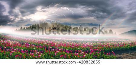 Chernivtsi region of Ukraine near the mountains farmer grows beautiful tulips Dutch European varieties. Organic farming on the background of modern technology the beauty of nature in spring - stock photo