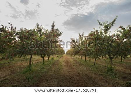 cherries on orchard tree in sunset - stock photo