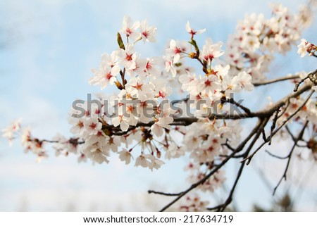 Cherry blossom and blue sky background in Korea - stock photo