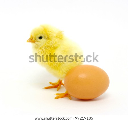 chick isolated on a white background