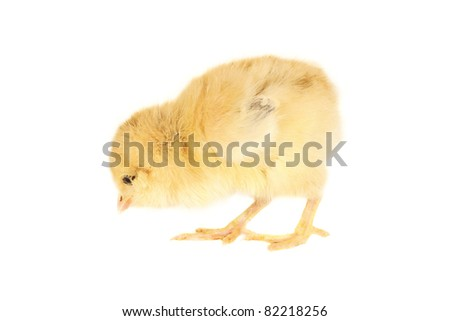 chick on a white background - stock photo