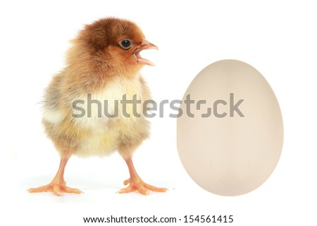 chicks on a white background                                - stock photo