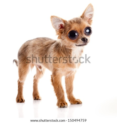 chihuahua dog with big eyes  isolated on white background.
