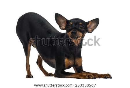 Chihuahua (18 months old) - stock photo
