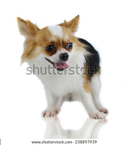 Chihuahua on a white background - stock photo