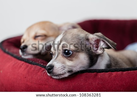 2 Chihuahua puppies in basket