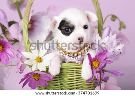 chihuahua puppy and flowers  - stock photo