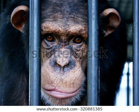 Chimpanzee face, Monkey face close up - stock photo
