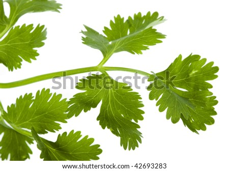 cilantro coriander isolated on white