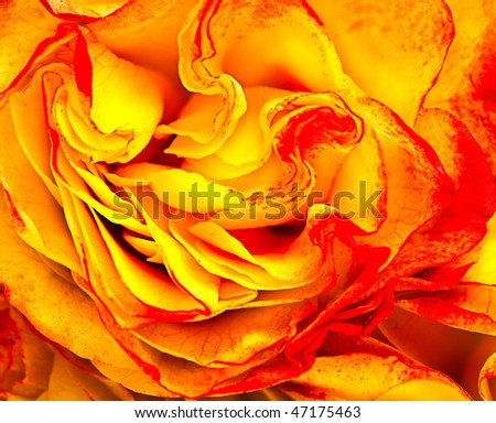 close-up beautiful yellow-red rose - stock photo