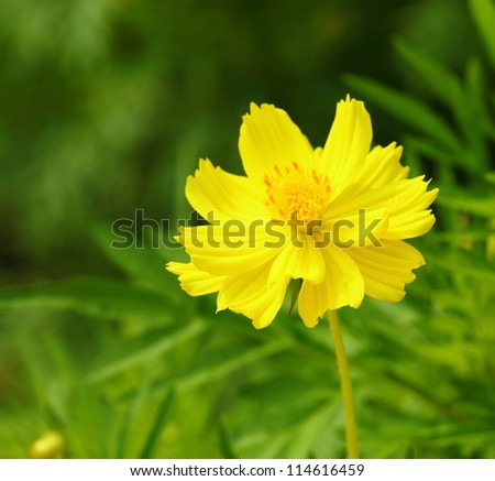 Close-up Cosmos flowers ( Cosmos sulphureus Cav.) - stock photo