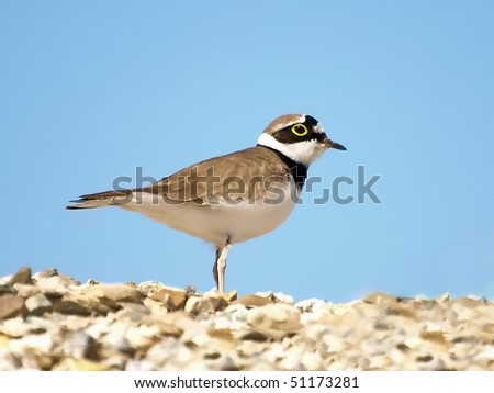 Close up Little Ringed Plover, Charadrius dubius, - stock photo