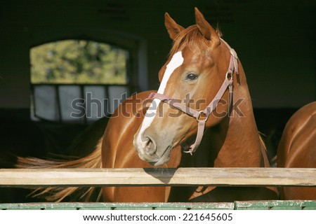 Close-up of a beautiful chestnut colored stallion - stock photo