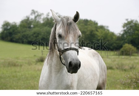 Close-up of a gray youngster in summer paddock. 	Portrait of an beautiful arabian white horse