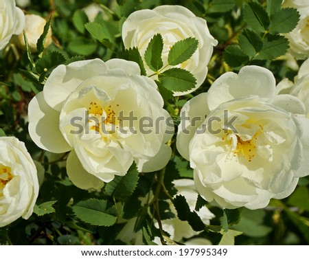 Close-up of a white rose plant in garden         - stock photo