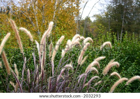 """close-up of Dwarf Fountain Grass growing in the wild, """"pennisetum alopecuroides hameln"""" - stock photo"""