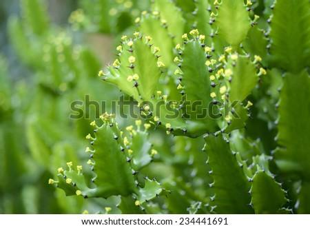 close up of Euphorbia antiquorum   flowers  - stock photo