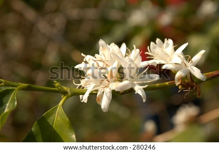 """""""Close-up of flowers on a coffee plant, Hawaii, (Keith Levit)"""" - stock photo"""