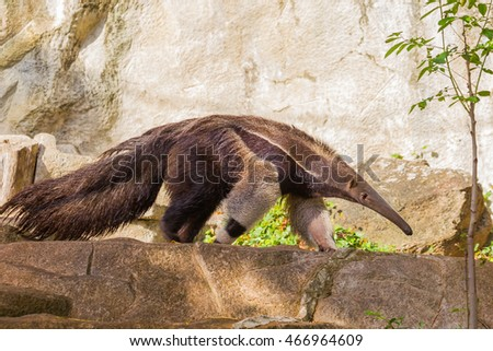 Close up of Giant anteater (Myrmecophaga tridactyla)