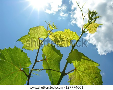 close-up of green grapevine and sun rays - stock photo