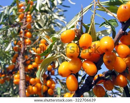 close-up of ripe berries of sea-buckthorn (Hippophae rhamnoides) - stock photo