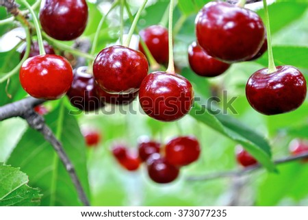 close-up of ripe sweet cherries on a tree in the garden - stock photo