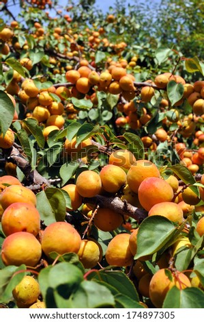 close-up of the ripe apricots in the orchard, vertical composition  - stock photo